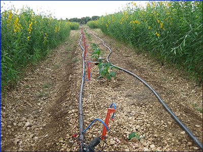 Microirrigation lines running through a crop row