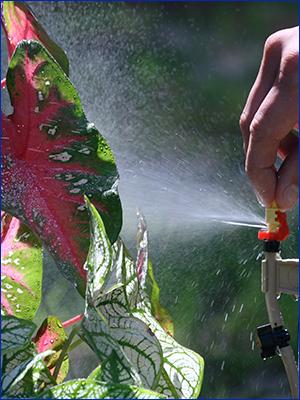 Irrigation head spraying water on a caladium plant